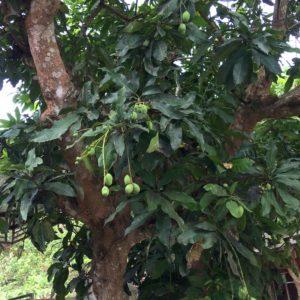 makan mangga yang berkhasiat
