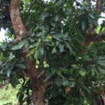 Cerita Asiknya makan mangga yang berkhasiat