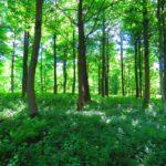 manfaat pohon damar