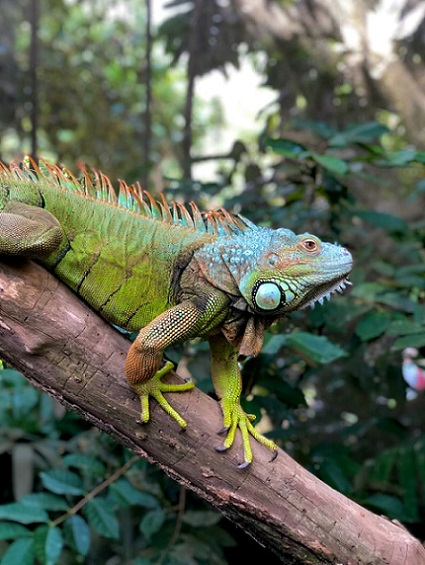 Iguana si kadal kecil