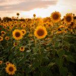 Cerita dari Bunga Matahari yang Bermanfaat