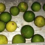 Cerita tentang manfaat dan cara menanam Jeruk Nipis